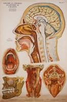 American Frohse Anatomical Wallcharts, Plate 7 Fine-Art Print