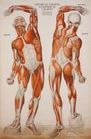American Frohse Anatomical Wallcharts, Plate 2 Fine-Art Print
