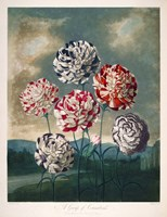 A Group of Carnations Fine-Art Print