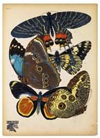 Butterflies Plate 10 Fine-Art Print