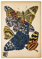 Butterflies Plate 11 Fine-Art Print