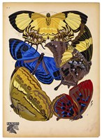 Butterflies Plate 12 Fine-Art Print