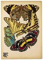 Butterflies Plate 13 Fine-Art Print