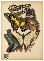 Butterflies Plate 14 Fine-Art Print