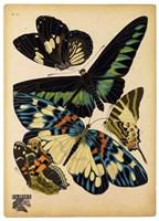 Butterflies Plate 16 Fine-Art Print