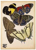 Butterflies Plate 3 Fine-Art Print