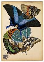 Butterflies Plate 4 Fine-Art Print