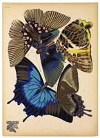 Butterflies Plate 9 Fine-Art Print