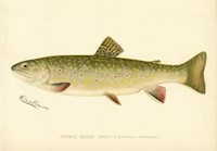 Female Brook Trout Fine-Art Print