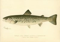 Female Land Locked Salmon Fine-Art Print