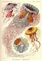 Jellyfish, Discomedusae Fine-Art Print