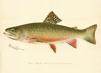 Male Brook Trout Fine-Art Print