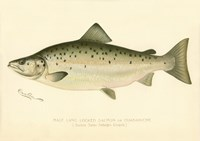 Male Land Locked Salmon Fine-Art Print