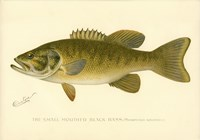 Small Mouthed Black Bass Fine-Art Print
