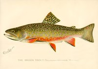 The Brook Trout Fine-Art Print