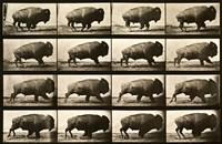 Buffalo Running, Animal Locomotion Plate 700 Fine-Art Print