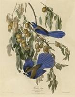Florida Jay Fine-Art Print