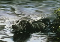 Black Lab Swimming Fine-Art Print