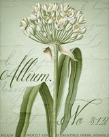 Allium I Fine-Art Print