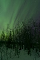 Aurora Borealis over Trees Fine-Art Print