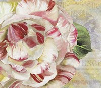 Camellias II Fine-Art Print