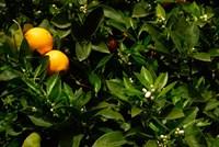 Orange Tree, Tenerife, Canary Islands, Spain Fine-Art Print