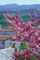 Flowering Cherry Tree and Whitewashed Buildings, Ronda, Spain Fine-Art Print