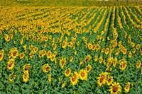 Spain, Andalusia, Cadiz Province Sunflower Fields Fine-Art Print