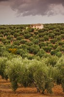 Olive Groves, Jaen, Spain Fine-Art Print