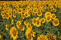 Spain, Andalusia, Cadiz Province Sunflower Fields Fine-Art Print