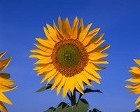 Sunflowers, Spain Fine-Art Print
