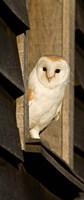 England, Barn Owl looking out from Barn Fine-Art Print