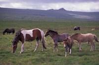 Horses of Dartmoor, Devon, England Fine-Art Print