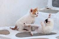 Kittens Playing, Mykonos, Greece Fine-Art Print