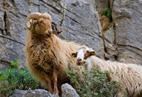 Greece, Crete, Lasithi, Wild Sheep, Kavousi Gorge Fine-Art Print