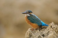 Common Kingfisher bird, Cliff, Cyprus Fine-Art Print