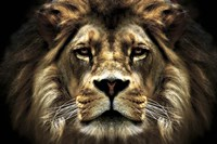 The Lion Fine-Art Print