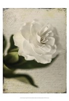 Gardenia Grunge II Fine-Art Print