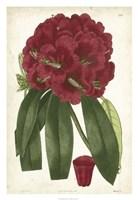 Antique Rhododendron I Fine-Art Print