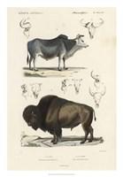 Antique Cow & Bison Study Fine-Art Print