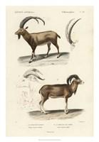 Antique Antelope & Ram Study Fine-Art Print