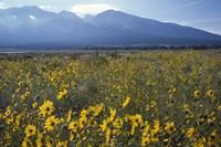 Colorado Mtns Daisies Fine-Art Print