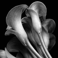 Lillies2 Fine-Art Print