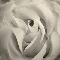 White Rose Fine-Art Print
