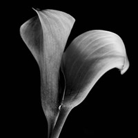 Calla Lilies Black and White Fine-Art Print