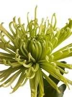 Green Chrysanthemum 1 Fine-Art Print
