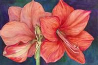 Amaryllis Blooms Fine-Art Print