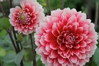 St Andrews Dahlia Flowers Fine-Art Print