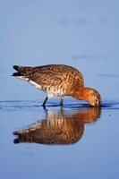 Black-Tailed Godwit Bird Fine-Art Print