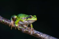 Tree Frog in Lake Neusiedl Fine-Art Print